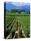 Vineyard  Calistoga  Napa Valley  California