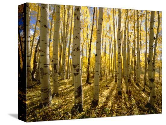 john-eastcott-yva-momatiuk-aspen-trees-in-autumn