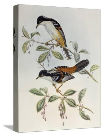john-gould-rufous-backed-sibia-heterophasia-annectans