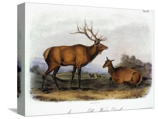 john-james-audubon-american-elk-1846