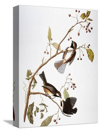 john-james-audubon-audubon-chickadee