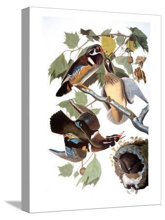 john-james-audubon-audubon-duck