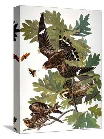 john-james-audubon-audubon-nighthawk
