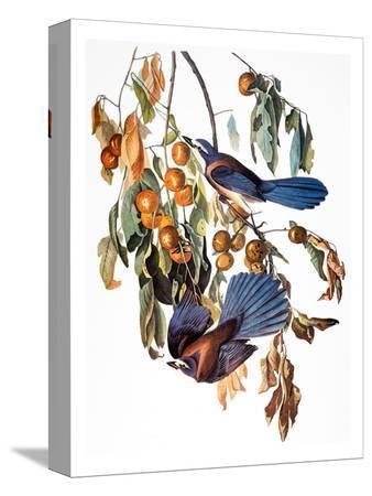 john-james-audubon-audubon-scrub-jay-1827-38