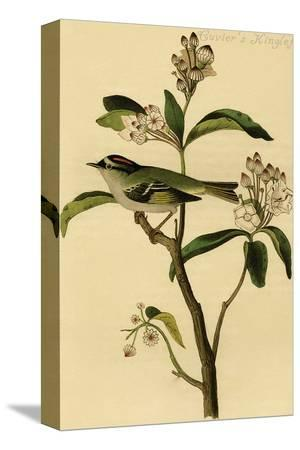 john-james-audubon-cuvier-s-kinglet