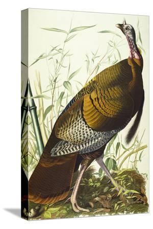 john-james-audubon-great-american-beck-male-wild-turkey-meleagris-gallopavo-plate-i-from-the-birds-of-america