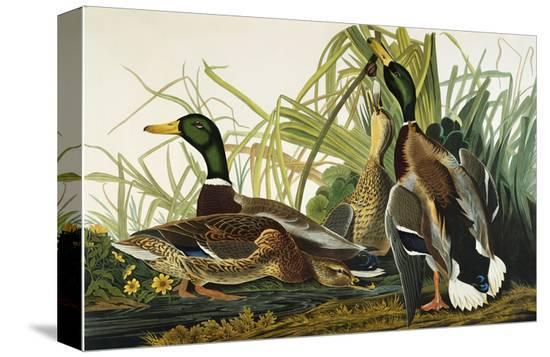 john-james-audubon-mallard-duck-mallard-anas-platyrhynchos-plate-ccxxi-from-the-birds-of-america