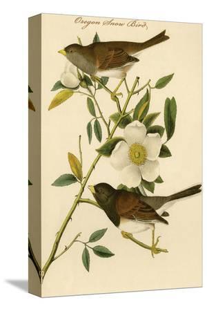 john-james-audubon-oregon-snow-bird