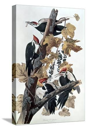 john-james-audubon-pileated-woodpeckers