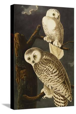 john-james-audubon-snowy-owl-nyctea-scandiaca-plate-cxxi-from-the-birds-of-america