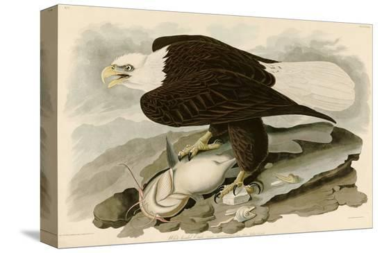 john-james-audubon-white-headed-eagle