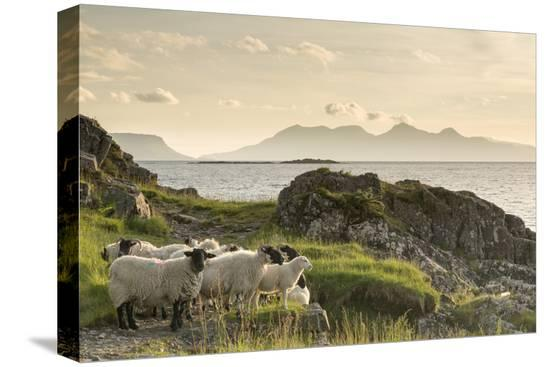 john-potter-sheep-on-the-beach-at-camusdarach-arisaig-highlands-scotland-united-kingdom-europe