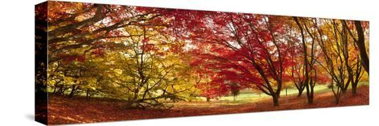 jon-arnold-autumn-foliage-of-japanese-maple-acer-tree-england-uk