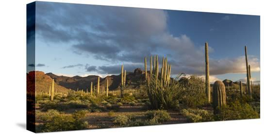 judith-zimmerman-arizona-sunset-over-desert-habitat-organ-pipe-cactus-national-monument