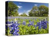 Field of Texas Bluebonnets and Oak Trees  Texas Hill Country  Usa