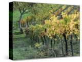 Italy  Tuscany Vineyard in Autumn in the Chianti Region of Tuscany