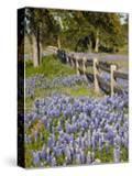 Lone Oak Tree Along Fence Line With Spring Bluebonnets  Texas  USA