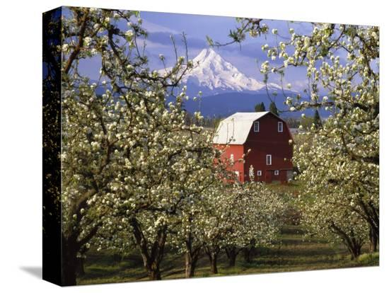 julie-eggers-red-barn-in-pear-orchard-mt-hood-hood-river-county-oregon-usa