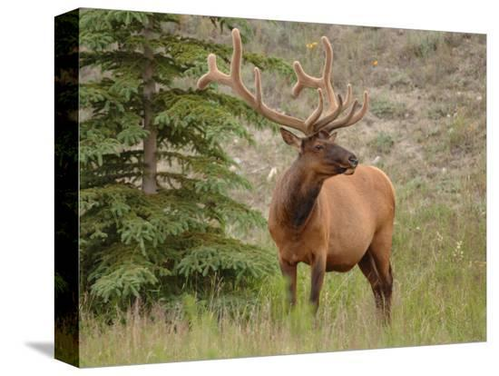 keith-levit-elk-standing-by-tree-jasper-national-park-canada