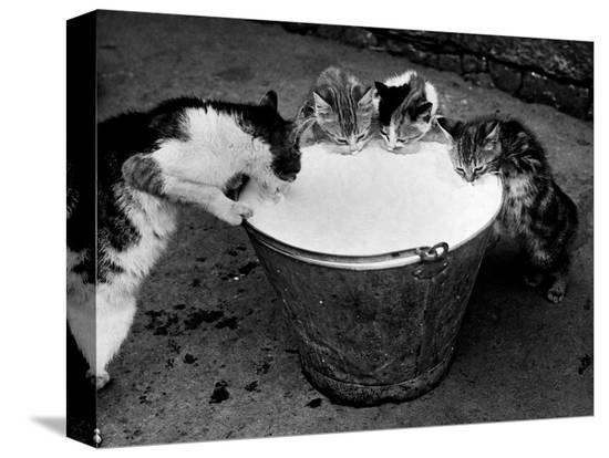 kittens-slurping-from-a-pail-of-milk