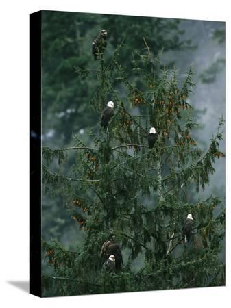 klaus-nigge-american-bald-eagles-perch-in-a-treetop