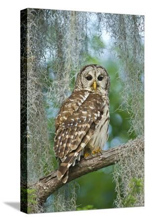 larry-ditto-barred-owl-strix-varia-in-bald-cypress-forest-on-caddo-lake-texas-usa