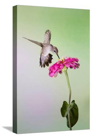 larry-ditto-jeff-davis-county-texas-black-chinned-hummingbird-feeding-at-zinnia