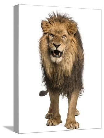 life-on-white-front-view-of-a-lion-roaring-standing-panthera-leo-10-years-old-isolated-on-white