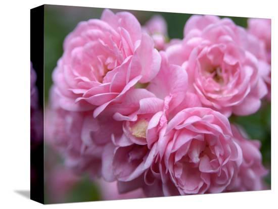 lisa-s-engelbrecht-pink-landscape-roses-jackson-new-hampshire-usa