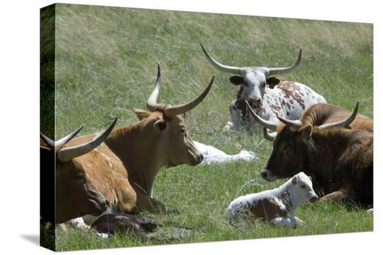 longhorn-cattle-in-the-black-hills-south-dakota