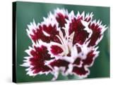 Dianthus Mendlesham Minx