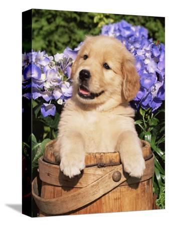 lynn-m-stone-golden-retriever-puppy-in-bucket-canis-familiaris-illinois-usa