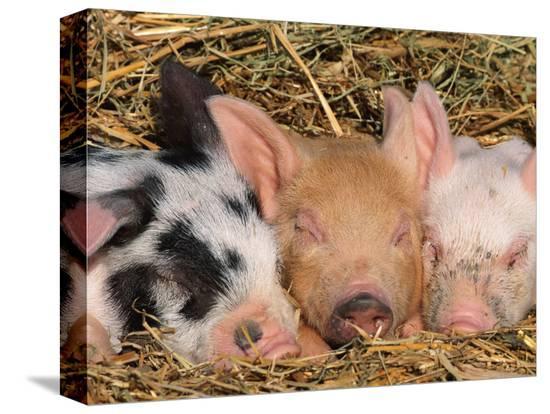 lynn-m-stone-piglets-sleeping-usa