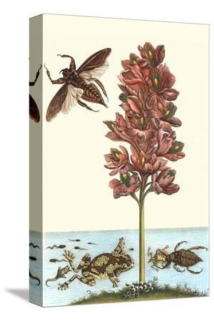 maria-sibylla-merian-common-water-hyacinth-with-a-veined-tree-frog-and-a-giant-water-bug