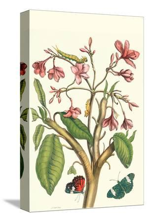 maria-sibylla-merian-frangiani-and-red-cracker-butterfly