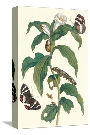 maria-sibylla-merian-ginger-plant-with-a-giant-sugar-cane-borer