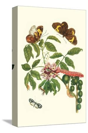 maria-sibylla-merian-leguminous-plant-with-a-sophorae-owl-caterpillar-and-an-aegle-clearwing-butterfly