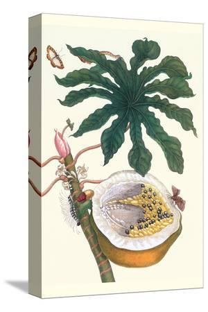 maria-sibylla-merian-papaya-with-caterpillar-pupa-and-butterfly-of-the-metalmark-family-and-a-moth-on-the-fruit