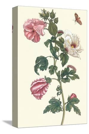 maria-sibylla-merian-roselle-with-fall-webworm