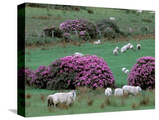 marilyn-parver-spring-countryside-with-sheep-county-cork-ireland
