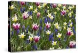 Mixed Tulips and Grape Hyacinth