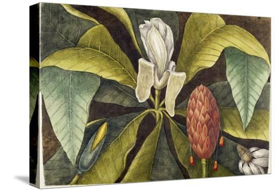 mark-catesby-magnolia