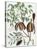 The Mahogany Tree (Arbor Folis Pinnatis)