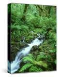Hoh Rainforest  Olympic National Park Washington  USA