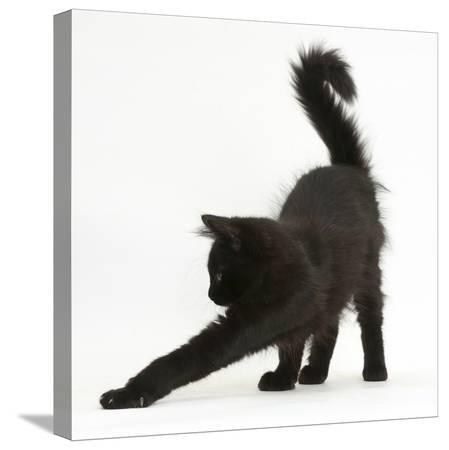 mark-taylor-fluffy-black-kitten-12-weeks-old-stretching