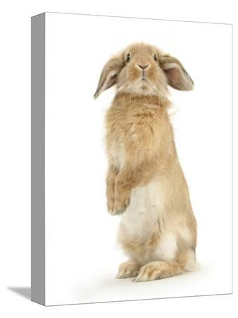 mark-taylor-sandy-lop-rabbit-sitting-up-on-its-haunches