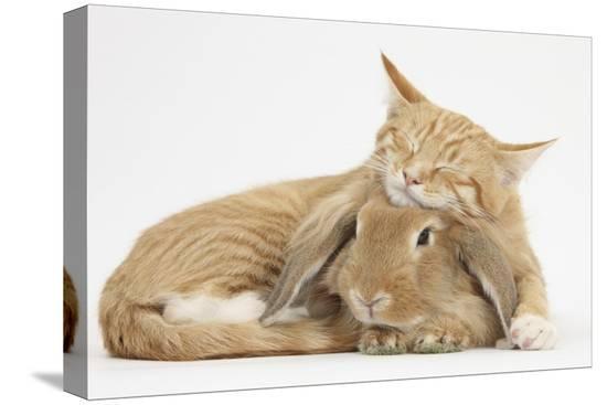 mark-taylor-sleepy-ginger-kitten-with-sandy-lionhead-lop-rabbit