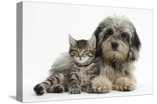 mark-taylor-tabby-kitten-fosset-8-weeks-old-with-fluffy-black-and-grey-daxie-doodle-pup-pebbles