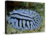 Striped Nudibranch  Fury Shoal  Egypt