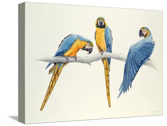 mary-clare-critchley-salmonson-blue-and-yellow-macaws